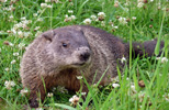 Groundhog or Woodchuck Trapping