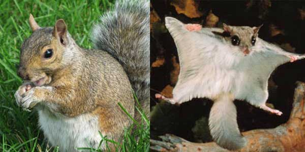 Grey Squirrel Trapping and Removal in Baltimore, MD