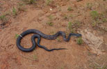 Snake Trapping